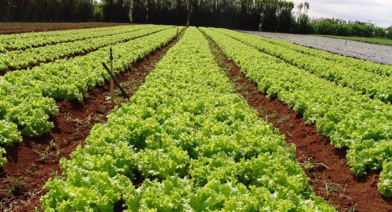 Empresa que desenvolveu uvas sem grainhas prepara-se para lançar verduras que não se colam aos dentes